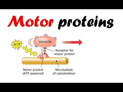 Motor Proteins Dynein Kinesin Myosin