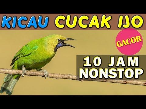 10 JAM NONSTOP - SUARA KICAU BURUNG CUCAK IJO GACOR