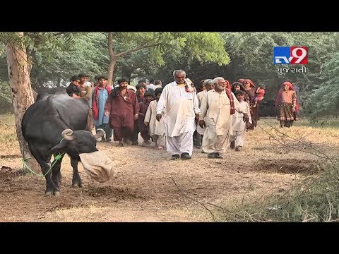 Cattle breeders from drought hit Kutch migrate to Ahmedabad-Tv9