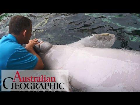 Meet Australia's only captive dugongs