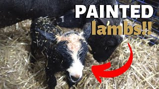check-out-these-painted-lambs-vlog-205