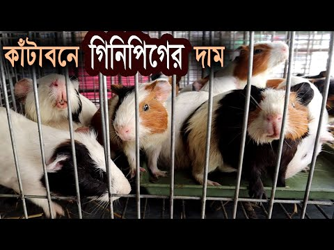 Guinea Pig Price | Katabon Animal Market in Bangladesh | গিনিপিগের দাম