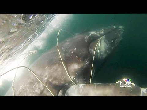 Caught on cam: Whale freed from fishing rope in B.C.