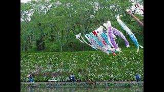 蓮華寺池公園の鯉のぼりと藤棚・スライドショー・2019年4月26日