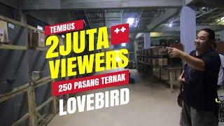 DUNIA HOBI : Ternak 250 Pasang Lovebird Milik Kurnia Bird Farm