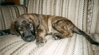 Chester As A Puppy! (brindle Lab Boxer Mix)