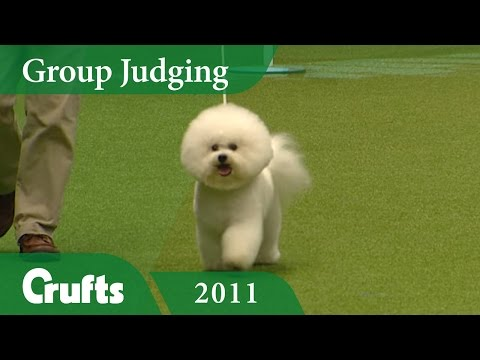 Bichon Frise wins Toy Group Judging at Crufts 2011 | Crufts Classics