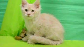 Видео мейн кун кошки Catarina