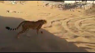 الفهد هارب في السعودية ، 2016 ، نمر حيوان مفترس 2017 يتجول في مدن السعوديه