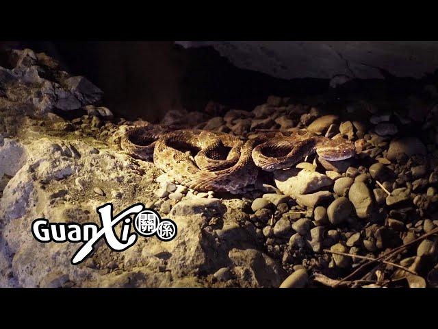 Snake Vs Explorers (Pit Viper)