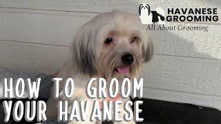 How to Groom Your Havanese