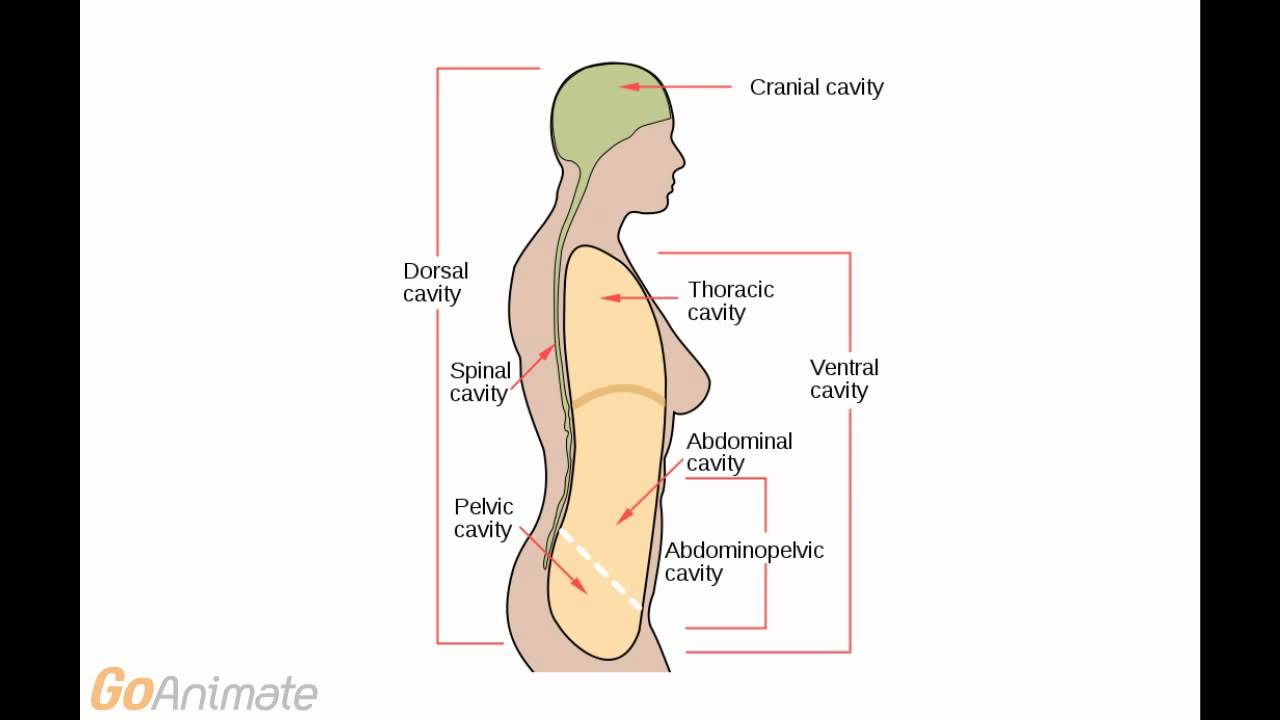 Anatomy and Physiology: Body Cavities (v2.0) - YouTube