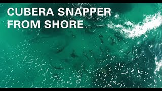 Catching Cubera Snapper from shore with Wesley Brough