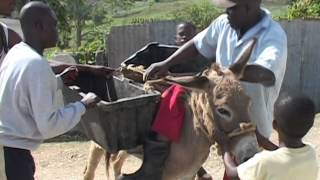 Jamaican pastor falls off Donkey -