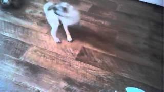 Мой пёс бегает за хвостом