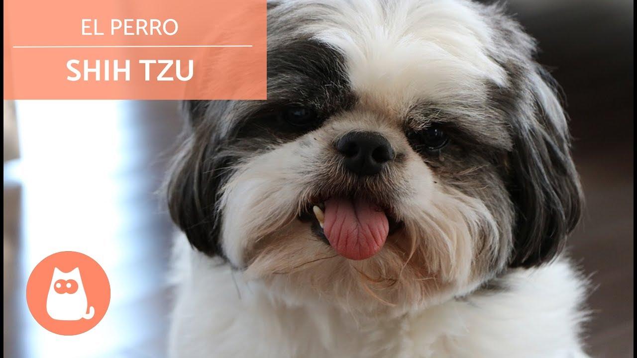 El Perro Shih Tzu Youtube