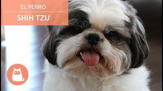 El Perro Shih Tzu