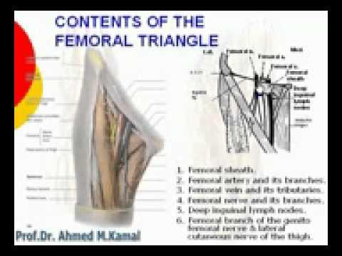 50 L Limb Contents of the femoral triangle Azharmedicine com - YouTube - femoral triangle