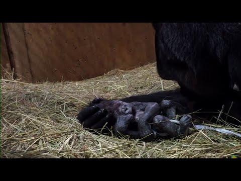 DC Zoo Welcomes Baby Western Lowland Gorilla