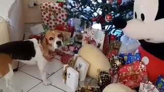 Beagles sniffs out her gift under the Christmas tree