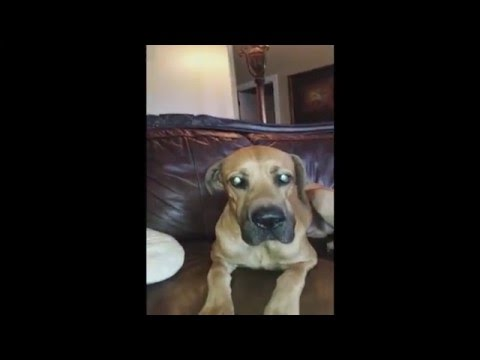 Dog Hides Whole Sandwich in his Mouth