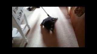 Miniature Schnauzer Puppy Helping With Hoovering