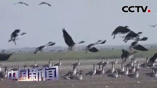 [中国新闻] 洞庭湖越冬候鸟陆续集群北迁 | CCTV中文国际