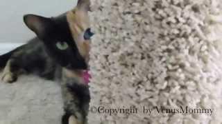 Кот с разным окрасом