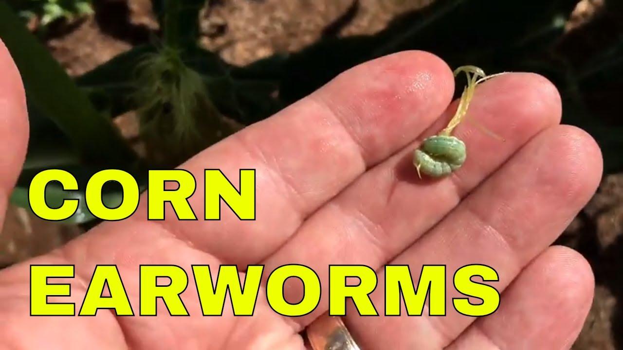 Controlling Earworms In Sweet Corn You