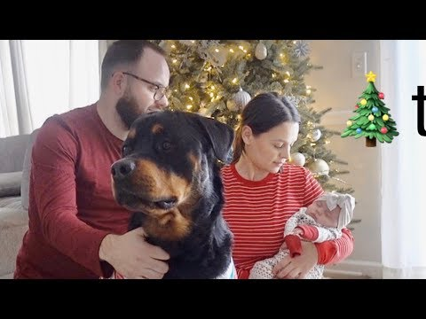 Rottweiler Bruno gets ready for Christmas! |60