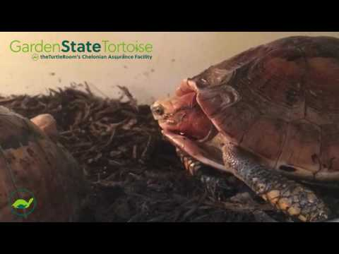 GRAPHIC! Box Turtle Breeding - Mature Audiences Only