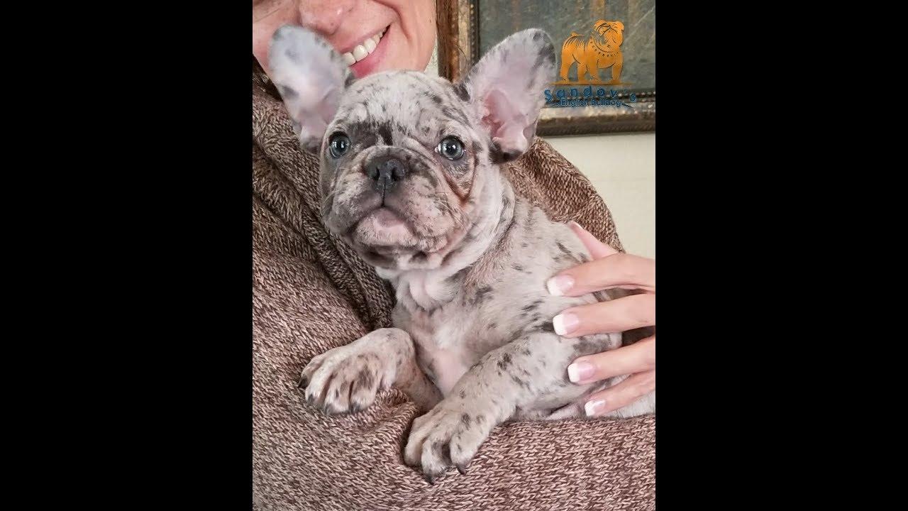 French Bulldog * Blue Tri Merle