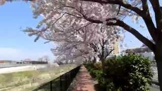 2015 桜 空堀川(東村山浄水場前) 4月2日写す