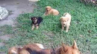 9 Week Old German Shepherd/golden Retriever Mix Bullies A Bigger Dog(dumaguete City)