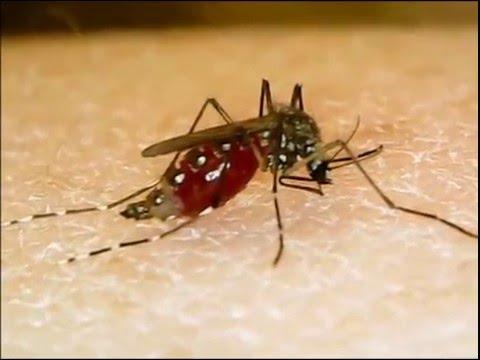 Aedes aegypti blood-feeding