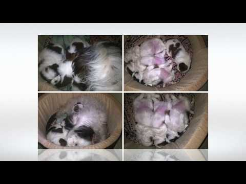Shih tzu Puppies Litter Pregnant to One Year Process We are not Breeders ....