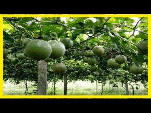 (小陳世界)一棵百香果種子。就可以爬滿陽臺!結的果子一年都吃不完!很簡單! | Doovi