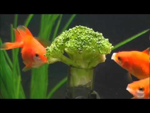 HOW TO FEED YOUR FISH BROCCOLI!!!!!