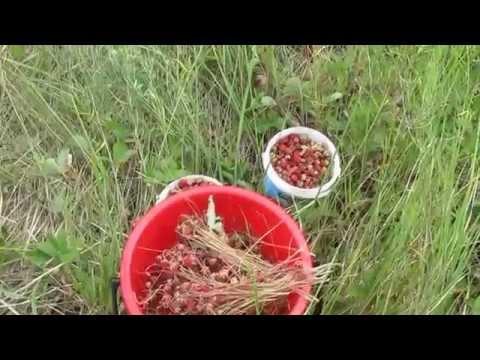 Трава Чабрец лечебные -