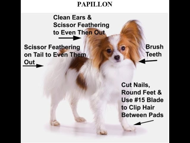 How to Groom the Papillon, Papillon Grooming Instructions, Papillon Grooming Video