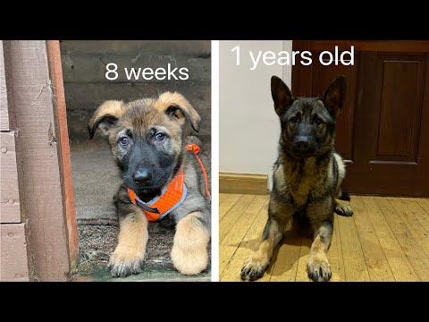 German Shepherd Growing Up  8 Weeks To 1 Year Old