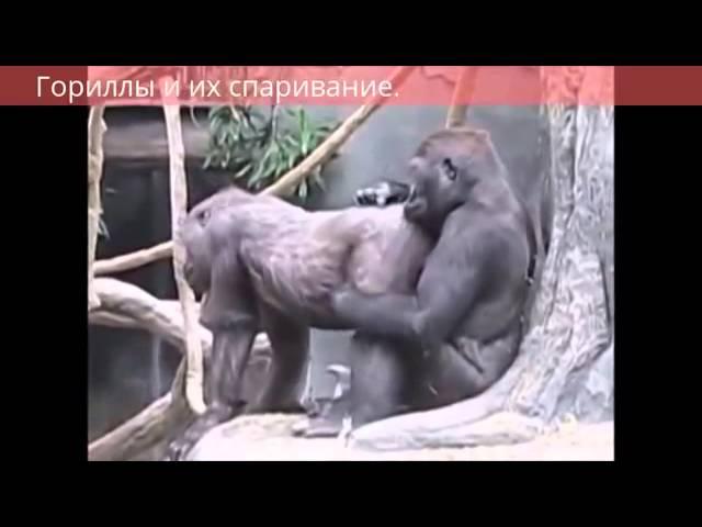 Смотреть видео как ебутся обезьяны гориллы