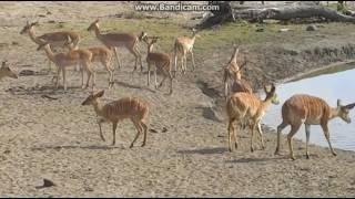 Przy wodopoju -  świat zwierząt Afryki ,,Safari