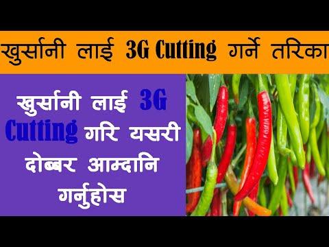 खुर्सानी लाई 3G Cutting गरि लाखौ आम्दानी कसरी गर्ने ? Chilli 3G Cutting In Nepali