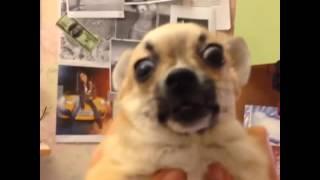 Смешная собака. Приколы с собаками . Смешные животные. Чихуахуа . Удивление собаки . Эмоциональный