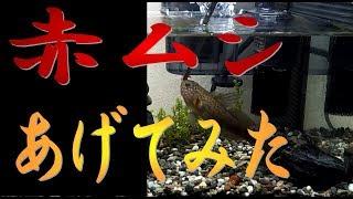 今回は、【よしお】【ボス】【デブちゃん】の ご飯を食べる姿の動画です( *´艸`) あげてるご飯は小分けに冷凍された[冷凍赤ムシ]です。...