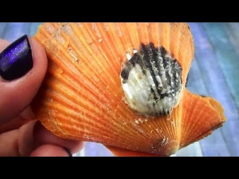 DOUBLE OYSTER WITH GIANT PEARLS  FOUND ON FUN HOUSE TV