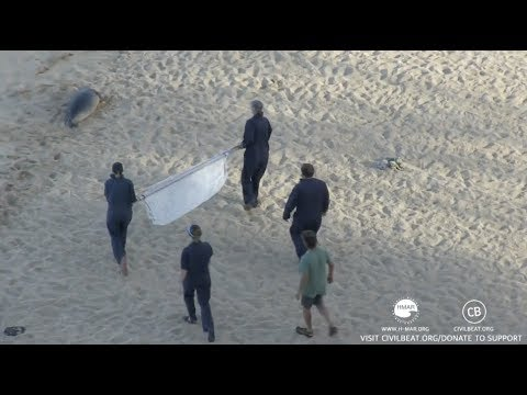 Hawaiian Monk Seal Pup Kaimana Gets Transported By NOAA Officials