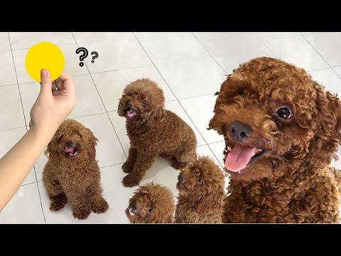 Cemilan murah dan sehat untuk anjing poodle