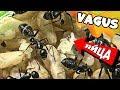 Муравьи - гиганты Camponotus Vagus в маленькой ферме